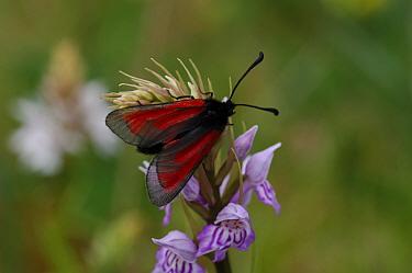 Transparent burnet moth (Zygaena purpuralis) Lough Gealain, Burren National Park, County Clare, Republic of Ireland  -  Robert Thompson/ npl