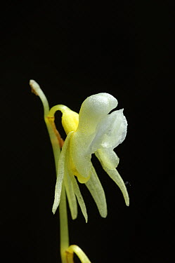 Ghost orchid (Epipogium aphyllum) Black Forest, Germany, July  -  Robert Thompson/ npl