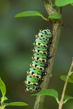 Caterpillar larve of the Calleta silkmoth (Eupackardia calleta) from Texas, Southern Arizona and Mexico  -  Robert Thompson/ npl