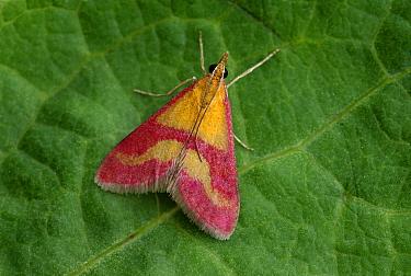 Moth (Pyrausta sanguinalis) resting on leaf, Europe  -  Robert Thompson/ npl