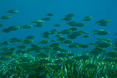 Shoal of Saupe (Sarpa salpa) Mediterranean sea, Southern coast of France  -  Laurent Geslin/ npl