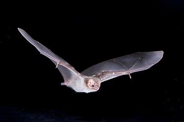 Hairy-legged Vampire Bat (Diphylla ecaudata) in flight at night, Nauvo Leon, South East Mexico, January  -  Barry Mansell/ npl