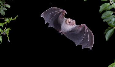 Hairy-legged Vampire Bat (Diphylla ecaudata) in flight at night, Mexico  -  Barry Mansell/ npl