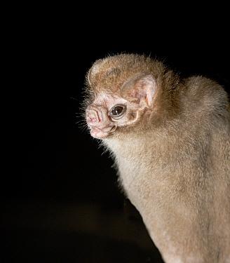 Hairy-legged Vampire Bat (Diphylla ecaudata) portrait, Tampaulipas, Mexico  -  Barry Mansell/ npl