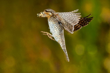 Wryneck (Jynx torquilla) flying to nest hole with prey, Lorraine, France  -  Poinsignon And Hackel/ npl