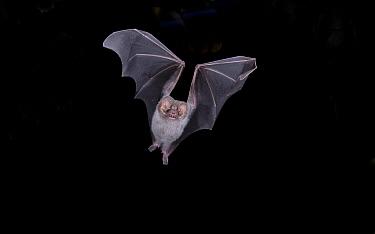 Hairy-legged Vampire Bat (Diphylla ecaudata)  -  Barry Mansell/ npl