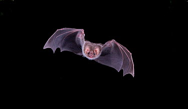 Hairy-legged Vampire Bat (Diphylla ecaudata) in flight at night, Tampaulipas, Mexico  -  Barry Mansell/ npl