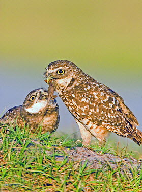 Burrowing owl (Athene cunicularia) feeding a Brown anole lizard (Anolis sagrei) to young, South West Florida, USA  -  Barry Mansell/ npl