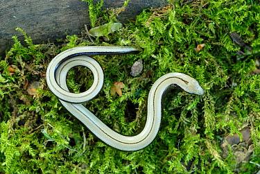 Slow worm (Anguis fragilis) on moss, Lorraine, France  -  Michel Poinsignon/ npl
