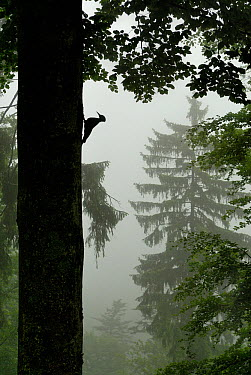 Sillhouette of Black woodpecker (Dryocopus martius) at nest hole in tree trunk in mist, rain, ancient forest, Vosges mountains, Lorraine, France  -  Poinsignon And Hackel/ npl
