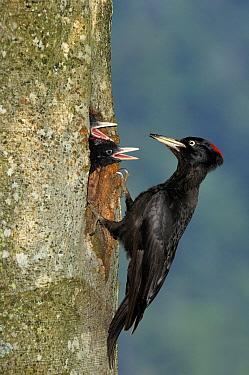 Black woodpecker (Dryocopus martius) male at nest hole feeding chicks, Vosges mountains, Lorraine, France  -  Poinsignon And Hackel/ npl