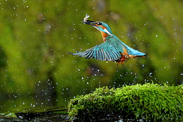 Common kingfisher (Alcedo atthis) coming up out of water with fish, Lorraine, France  -  Poinsignon And Hackel/ npl