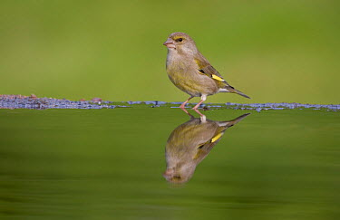 Greenfinch (Carduelis chloris) female reflected in garden pool, Cairngorms National Park, Scotland, UK, May  -  Pete Cairns/ npl