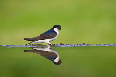 House Martin (Delichon urbica) beside garden pool, collecting mud for nest, Cairngorms National Park, Scotland, UK, May  -  Pete Cairns/ npl