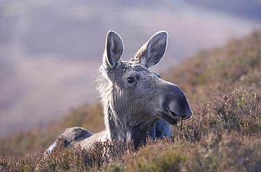 Moose, European elk (Alces alces) female on moorland, Alladale Wilderness Reserve, Highlands, Scotland, UK, September  -  Pete Cairns/ npl