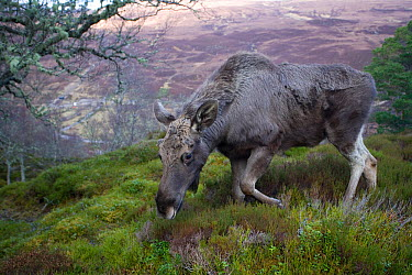 Moose, European elk (Alces alces) female browsing on moorland, Alladale Wilderness Reserve, Highlands, Scotland, UK, March 2008  -  Pete Cairns/ npl