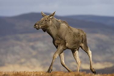 Moose, European elk (Alces alces) female on moorland, Alladale Wilderness Reserve, Highlands, Scotland, UK, March 2008  -  Pete Cairns/ npl