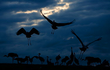 Common cranes (Grus grus) silhouette of flock taking off to roost, Hornborga, Sweden  -  Pete Cairns/ npl