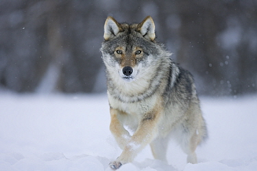 European grey wolf (Canis lupus) running through snow in birch forest, Tromso, Norway, captive, April  -  Pete Cairns/ npl