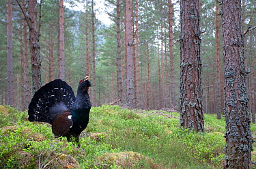 Capercaillie (Tetrao urogallus) male displaying in pine forest, Scotland, April 2009  -  Pete Cairns/ npl