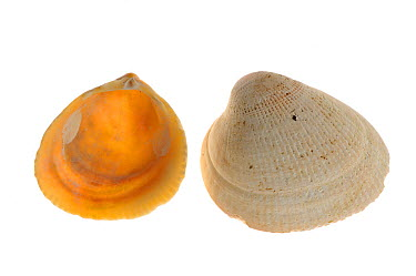Smooth, Norway cockle (Laevicardium crassum) shells, Brittany, France  -  Philippe Clement/ npl