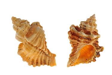 Sting winkle, Oyster drill, Hedgehog Murex (Ocenebra erinacea) shells, Brittany, France  -  Philippe Clement/ npl