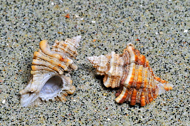 Sting winkle, Oyster drill, Hedgehog Murex (Ocenebra erinacea) on beach, Brittany, France  -  Philippe Clement/ npl