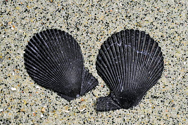Variegated scallop (Chlamys varia, Mimachlamys varia) shells on beach showing the ears of right and left valves, Brittany, France  -  Philippe Clement/ npl