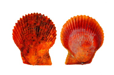 Variegated scallop (Chlamys, Mimachlamys varia) shells of the red variety, Brittany, France  -  Philippe Clement/ npl
