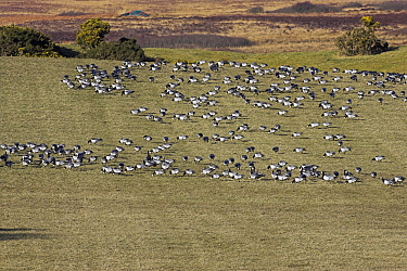 Barnacle goose (Branta leucopsis) winter flock feeding, Islay, Scotland, February  -  Mike Read/ npl
