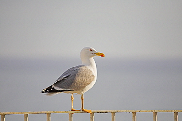 Yellow-legged gull (Larus cachinnans) standing on balcony hand rail, Armacao de Pera, Algarve, Portugal, April  -  Mike Read/ npl