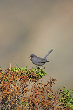 Marmora's warbler (Sylvia sarda) in coastal scrub, Cap Grosso, Corsica, France, April  -  Mike Read/ npl