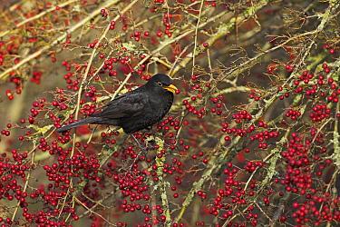 Male Blackbird (Turdus merula) male feeding on Hawthorn (Crataegus monogyna) berries, Ringwood, Hampshire, England, December  -  Mike Read/ npl