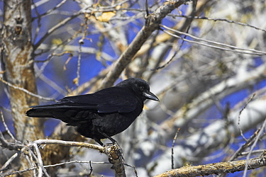 American crow (Corvus brachyrhynchos) perched in tree, Las Cruces, New Mexico, USA, January  -  Mike Read/ npl