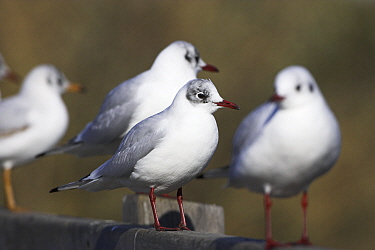 Black-headed gull (Larus ridibundus) group on bridge handrail, Weymouth, Dorset, England, February  -  Mike Read/ npl