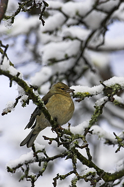 Common chaffinch (Fringilla coelebs) on snowy branch, New Forest National Park, Hampshire, England, April  -  Mike Read/ npl