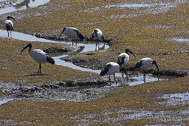 Sacred ibis (Threskiornis aethiopicus) feeding in estuary mud, Brittany, France, September  -  Mike Read/ npl