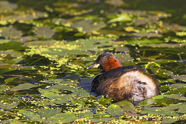 Little grebe (Tachybaptus ruficollis) on water, Cromford Canal, Derbyshire, England, October  -  Mike Read/ npl
