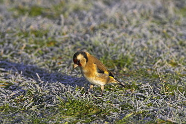 European goldfinch (Carduelis carduelis) in garden on frosty lawn, Ringwood, Hampshire, UK, January  -  Mike Read/ npl