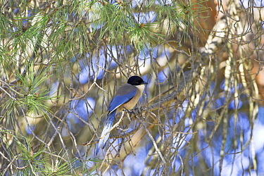 Azure-winged magpie (Cyanopica cyanus) perched in pine tree, Algarve, Portugal  -  Mike Read/ npl