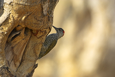 Golden-tailed woodpecker (Campethera abingoni) female foraging on tree trunk, Kruger National Park, South Africa, November  -  Mike Read/ npl
