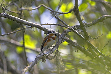 Cape batis (Batis capensis) female perched, Misty Mountain Lodge, South Africa, November  -  Mike Read/ npl