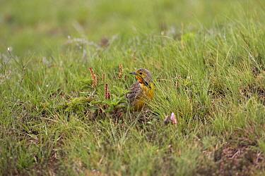 Cape, Orange-throated longclaw (Macronyx capensis) on ground, Wakkestroom, South Africa, November  -  Mike Read/ npl