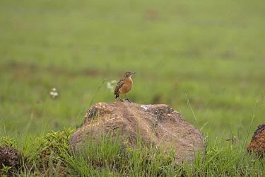 Spike-heeled lark (Chersomanes albofasciata) perched on rock, Wakkestroom, South Africa, November  -  Mike Read/ npl