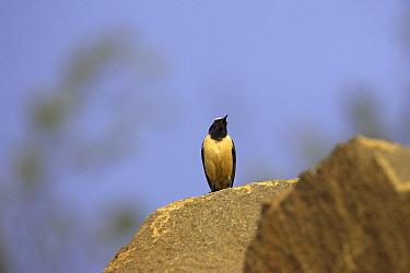 Buff-streaked chat (Oenanthe bifasciata) male perched on rock, Wakkestroom, South Africa, November  -  Mike Read/ npl