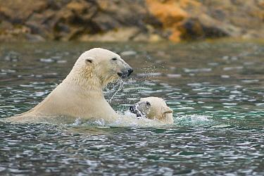 Two Polar bears (Ursus maritimus) playing in the sea along the coast of, Norway  -  Steven Kazlowski/ npl