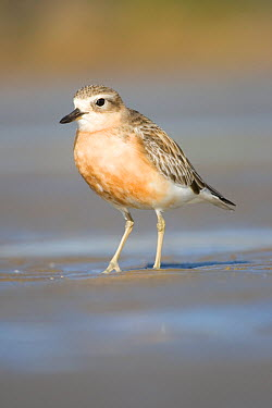 New Zealand dotterel (Charadrius, Pulvalis obscurus) on breeding beach, Auckland, North Island, New Zealand, Endandered species  -  Tom Marshall/ npl