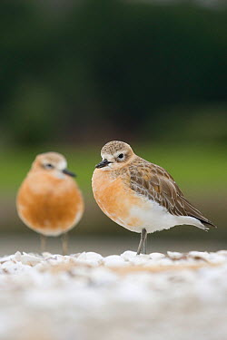 New Zealand dotterel (Charadrius, Pulvalis obscurus) pair on breeding beach, Auckland, North Island, New Zealand, Endandered species  -  Tom Marshall/ npl