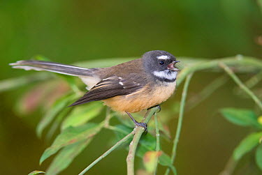New Zealand fantail, Piwakawaka (Rhipidura fuliginosa) calling, Christchurch, New Zealand, May  -  Andrew Walmsley/ npl