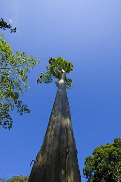 Montezuma oropendola (Psarocolius, Gymnostinops montezuma) nests at the top of a very tall tree, Costa Rica, March  -  Robin Chittenden/ npl